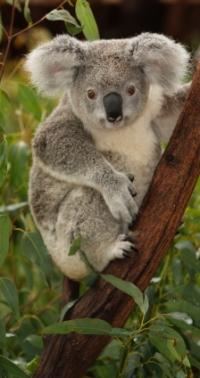 Koalaberen