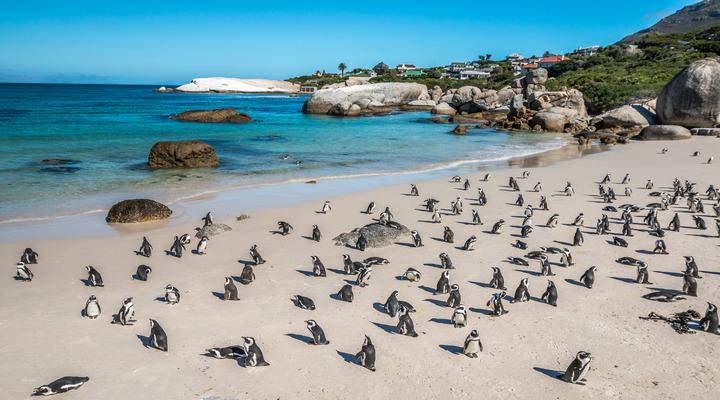 Schattige pinguïns op Boulders Beach